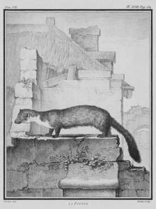 La fouine - Dessin de De Sève, 1755.